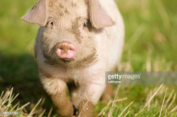 Happy Piglet Trotting Along (1)