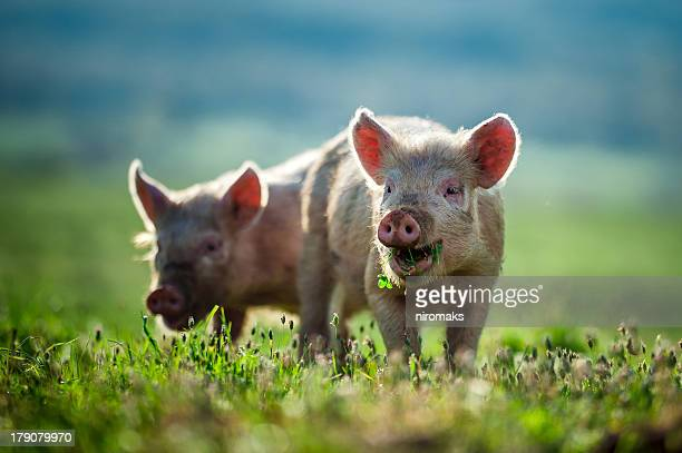 Happy piglets eat grassA