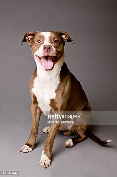 Felice cane Pit Bull su Sfondo grigio