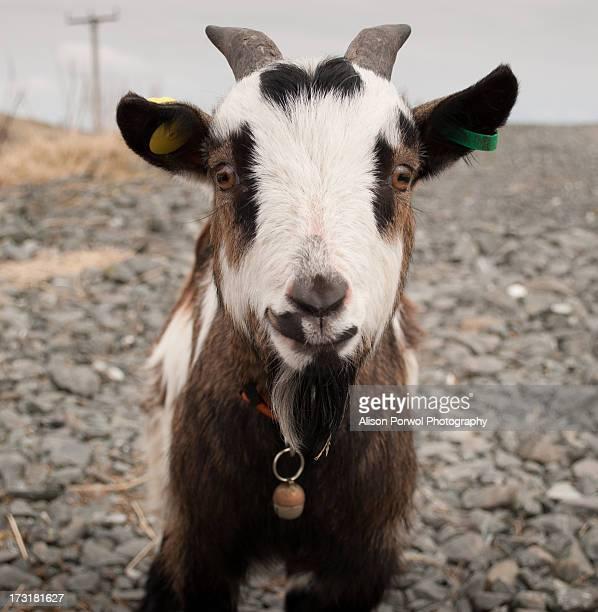 Happy Pygmy Goat