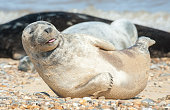 seal pup with a happy expression basking on a stony beach