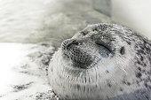 "Happy seal rest on the shore and smiling in aquarium name ""Osaka Kaiyukan"" japan"