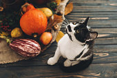 Happy Thanksgiving concept. Cute cat sitting at beautiful Pumpkin in light, vegetables on bright autumn leaves, acorns, nuts on wooden rustic table. Hello Autumn.