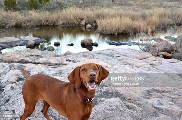 Happy Vizsla dog playing at a rocky creek