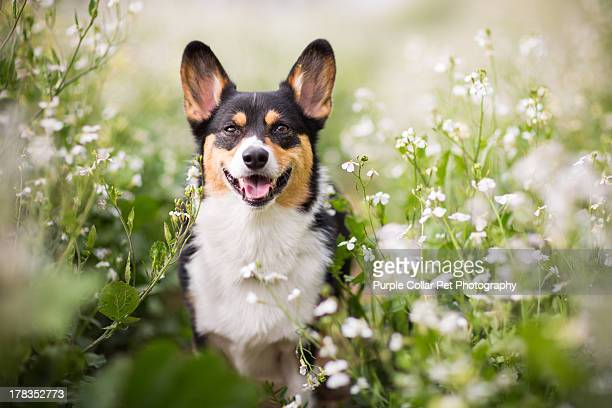 Happy Welsh Corgi dog in field of flowers