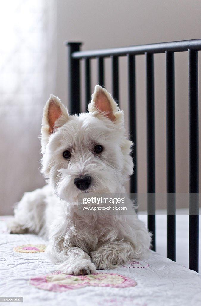 Happy White Terrier : Stock Photo