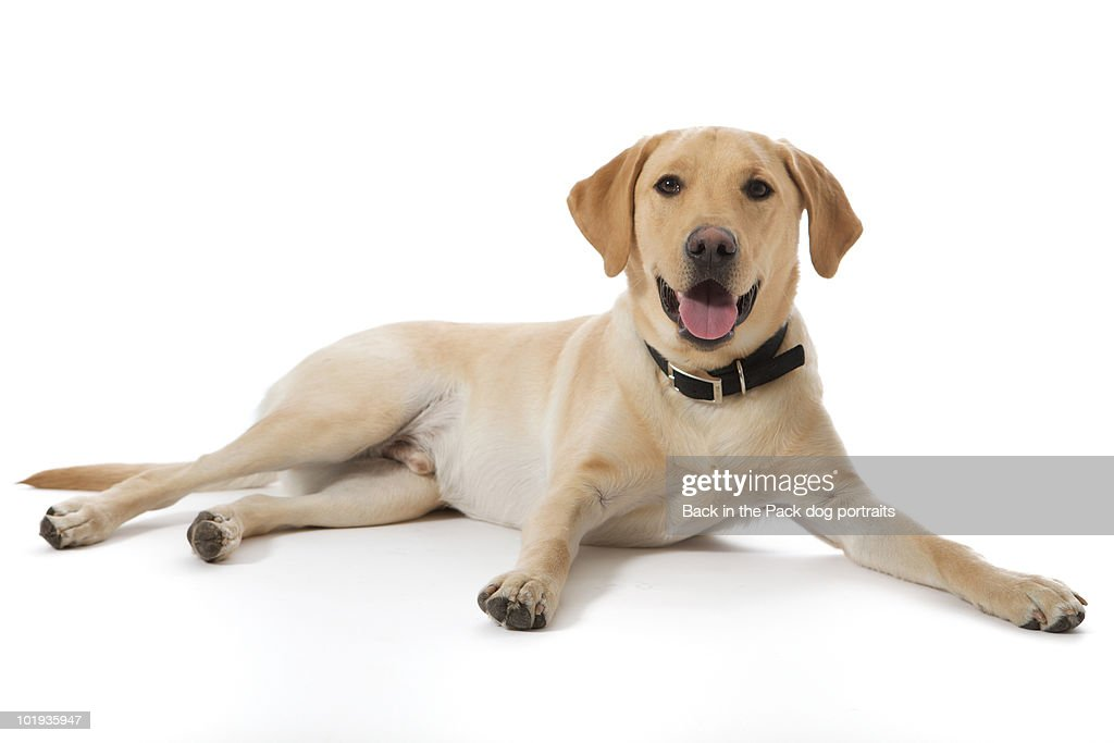 Happy Yellow Lab Sitting On White Stock Photo Getty Images
