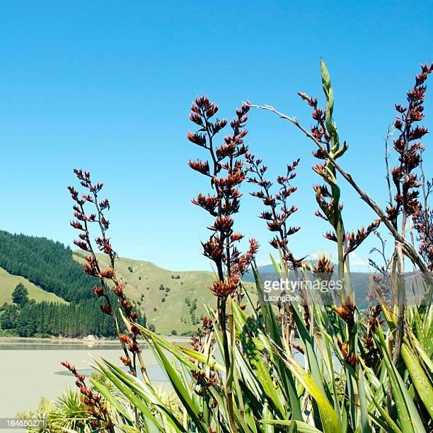 Harakeke (New Zealand Flax) in Bloom