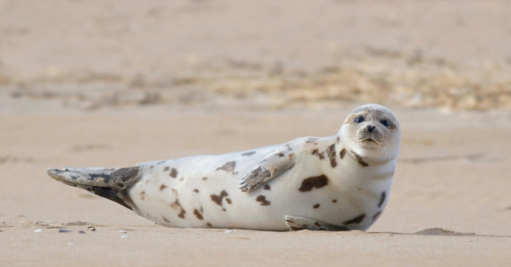 harbor seal stock photos and pictures getty images. Black Bedroom Furniture Sets. Home Design Ideas
