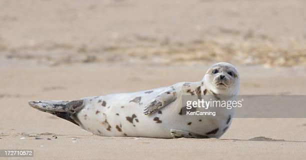 ゼニガタアザラシ砂浜のビーチで日光浴