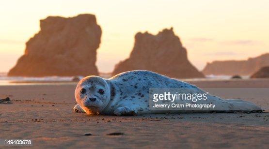 Harbor seal pup at sunset