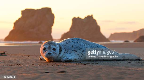Harbor seal pup at sunset