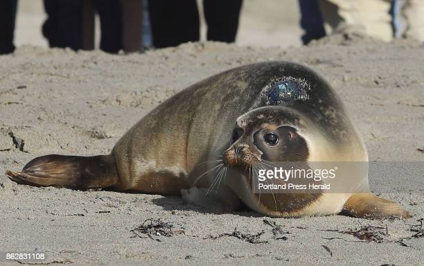 A harbor seal rescued from Old Orchard Beach is released Sunday Oct 8 2017 at Head Beach in Phippsburg Maine
