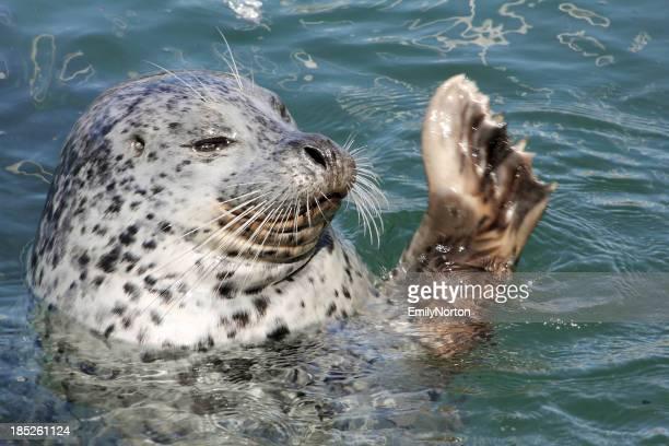 Harbor Seal Waving