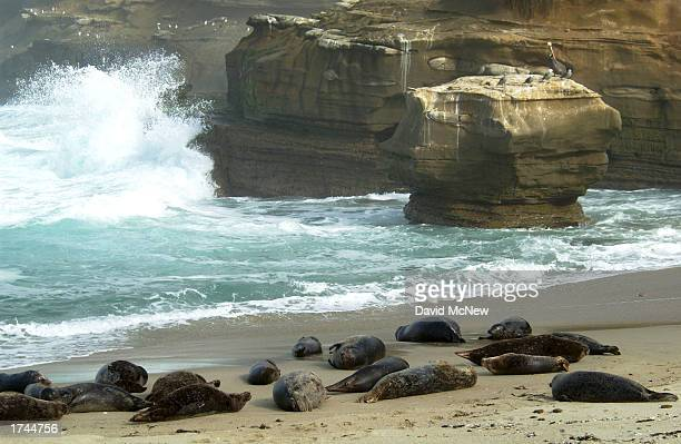 Harbor seals haul out at Children's Pool Beach January 24 2003 in La Jolla California Since taking over the beach the area has been named Seal Rock...
