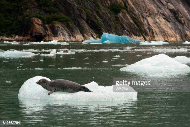 Harbor seals on iceberg near the Dawes Glacier Endicott Arm Tongass National Forest Alaska USA Cliffwalled fjords sliced into the mountainous...