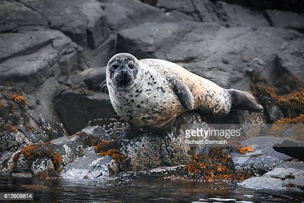 Harbour Seal Sat on a Rock in the bay of Plockton, Scotland