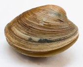 Fresh live hard clam, quahog isolated on white background