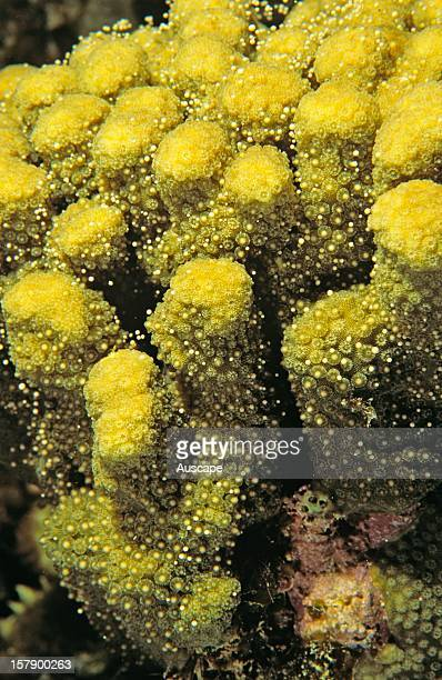Hard coral spawning Great Barrier Reef Queensland Australia