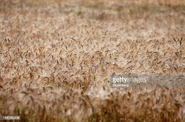 Hard wheat grows in a field before harvesting at a farm near Rome Italy on Friday July 13 2012 Barclays Plc raised its forecast for average corn...