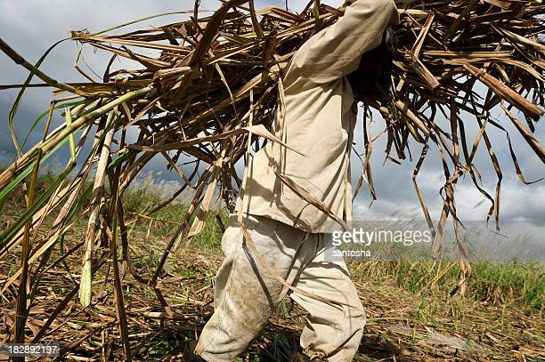 Hard work in sugarcane field