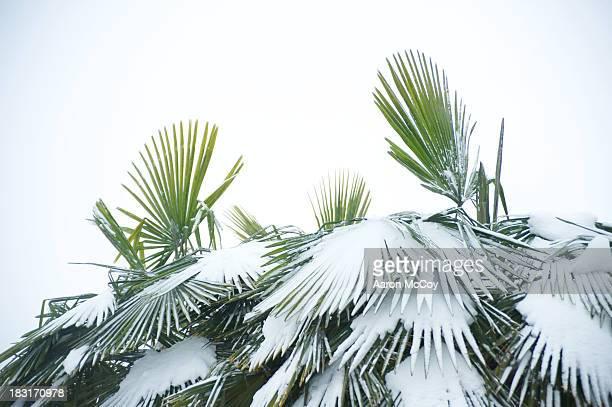Hardy palms
