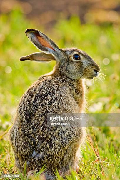 Hare (Lepus europaeus), Apetlon, Burgenland, Austria, Europe