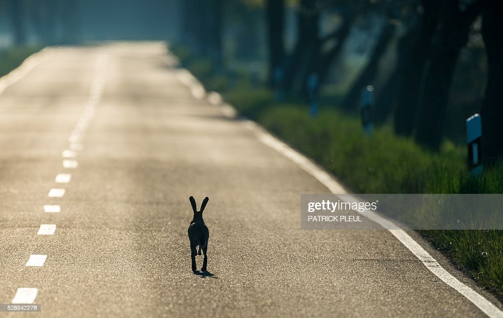 A hare hops across the road near Reitwein, northeastern Germany, on May 6, 2016. / AFP / dpa / Patrick Pleul / Germany OUT