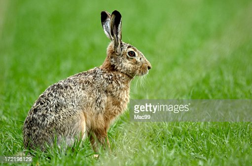 Hare looking alert in the field