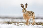 hare in a snowy field