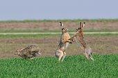 Hare in fight