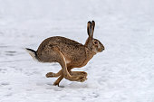 Hare running in the winter field