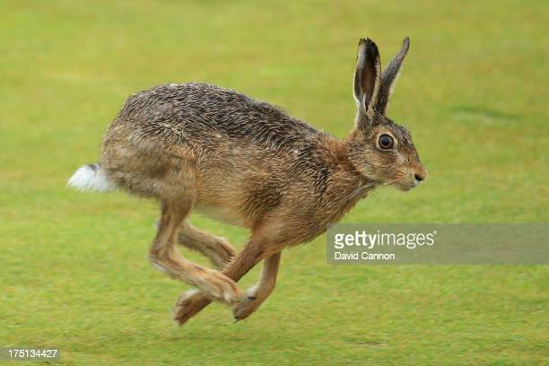 Hare runs across a fairway during the first round of the Ricoh Women's British Open at the Old Course St Andrews on August 1 2013 in St Andrews...