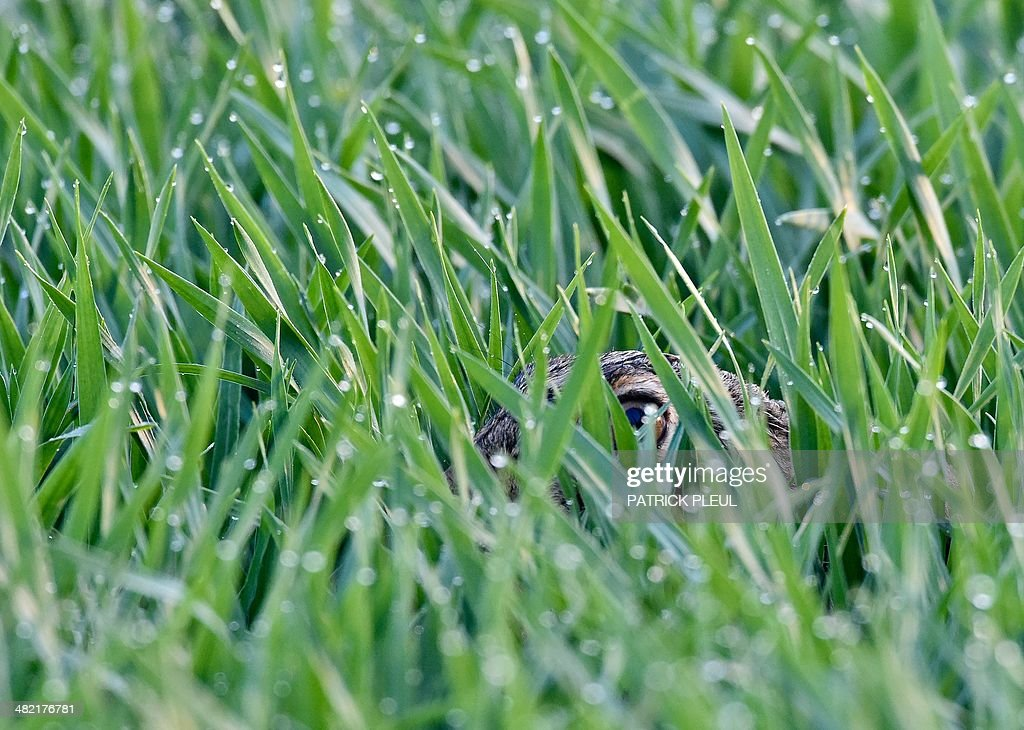 A hare sits between blades covered in dewdrops in a field near Sachsendorf, eastern Germany, on April 3, 2014.