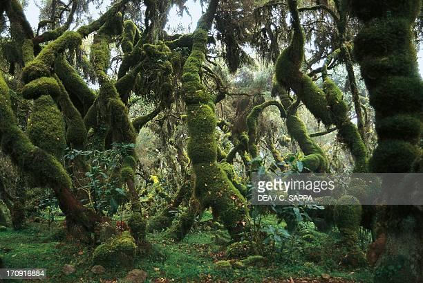 Harenna Forest Bale Mountains National Park Ethiopia