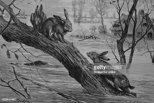Hares seeking refuge on a tree trunk during a flood historical engraving 1880