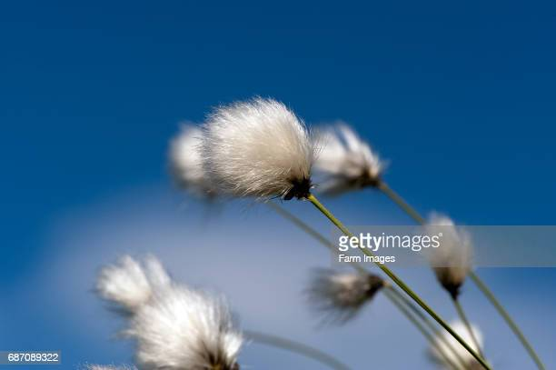 hares tail cotton grass flowering on moorland in cumbria