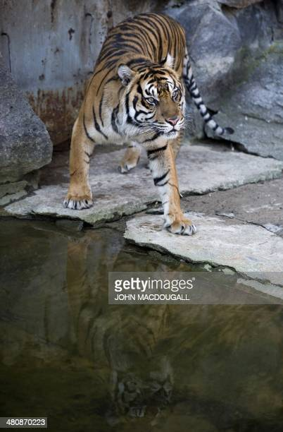 Harfan a male Sumatran tiger born in 2008 is presented to the public for the first time at Berlin's Tierpark zoo March 27 2014 Harfan and female...