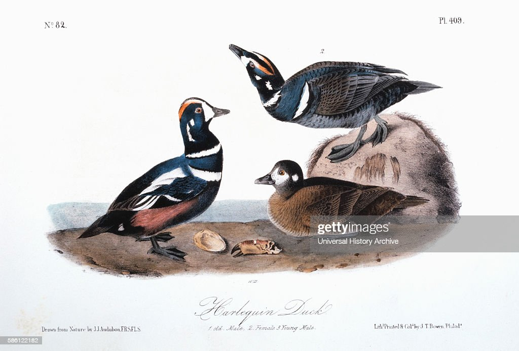 Harlequin Duck HandColored Etching from the Book 'The Birds of America' by John James Audubon circa 1830's