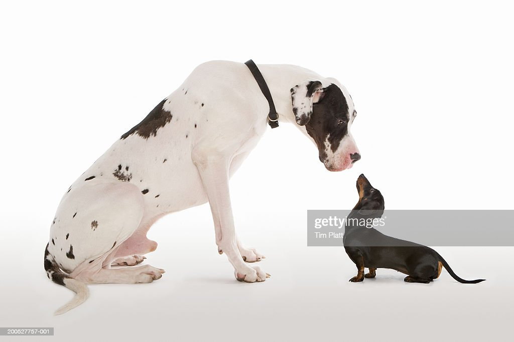 Harlequin Great Dane and Miniature Dachshund sitting face to face in studio : Stock Photo
