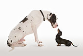 Harlequin Great Dane and Miniature Dachshund sitting face to face in studio