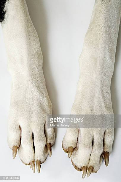 Harlequin Great Dane. Close up of front paws. Studio shot against white background. Owned by Liza Fenton. South Africa.