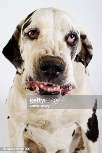 Harlequin Great Dane growling, studio shot : Stock Photo