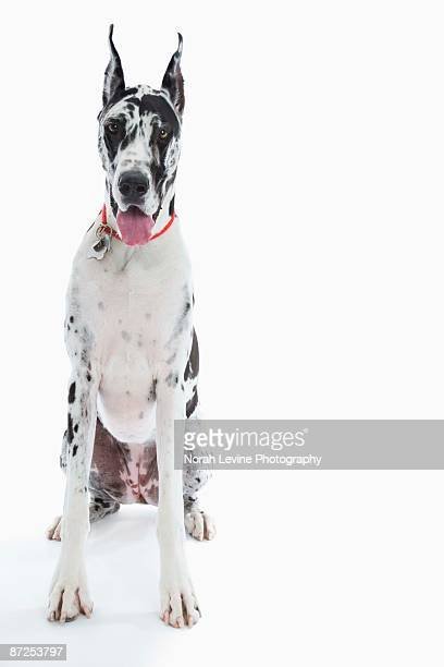 Harlequin Great Dane