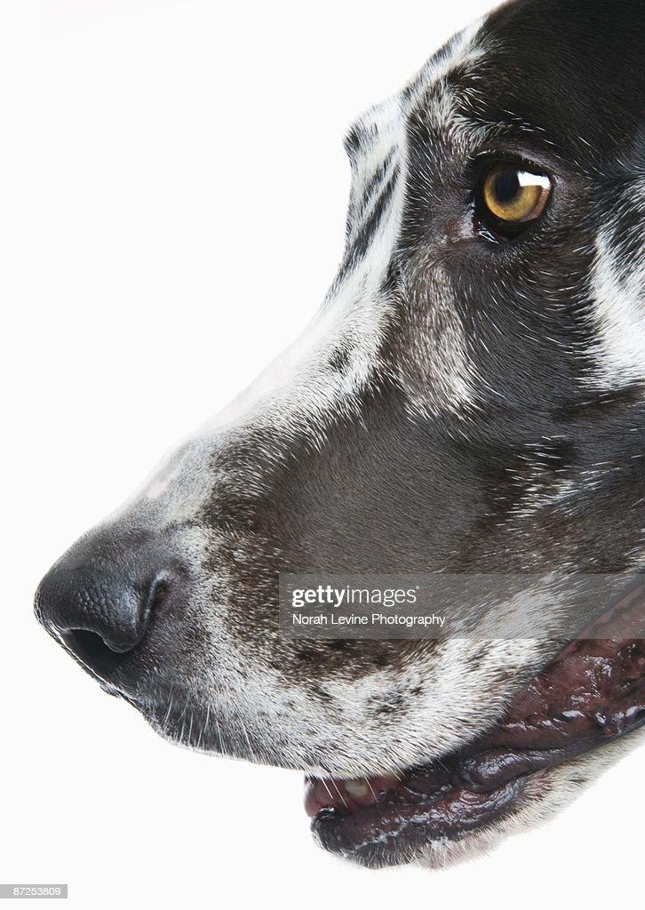 Harlequin Great Dane : Stock Photo