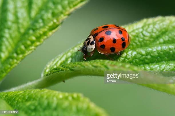 Valuable asian ladybug video word honour