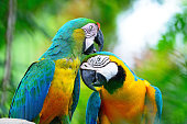 Colorful parrot bird, Harlequin macaw, portrait profile