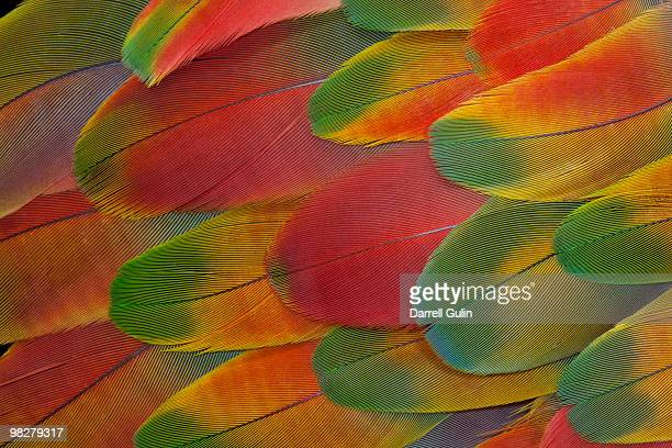 Harlequin Macaw wing feather design