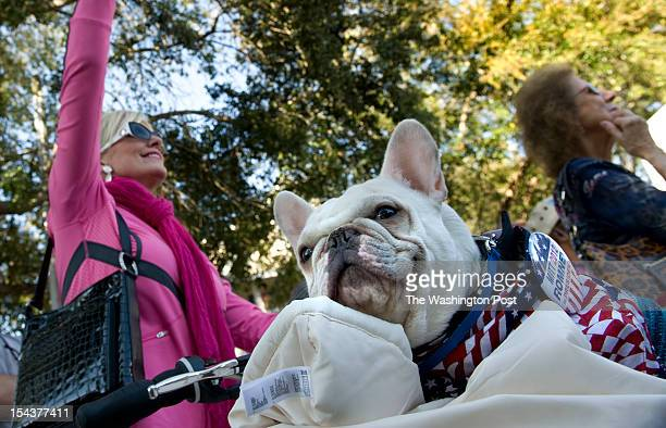 Harley the french bulldog waits in a bicycle basket for his owner Beverly Horvat to wrap it up while attending a Mitt Romney Presidential campaign...