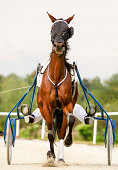 Close-up of horse on harness racing. Find more in